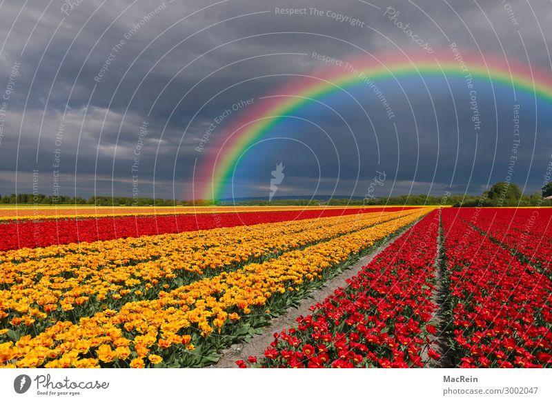 Tulpenfeld mit Regenbogen Tulpenfelder Blume Blumen Blumensorte Botanik Holland bunt bunte bunter buntes draußen Europa farbig farbige farbiger farbiges Flora