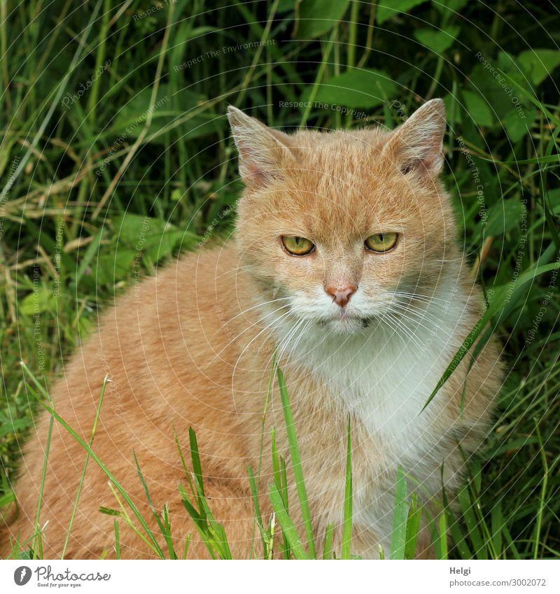 rot-getigerte Katze sitzt im Gras und schaut konzentriert nach vorn Pflanze Garten Tier Haustier 1 beobachten Blick sitzen authentisch einzigartig natürlich