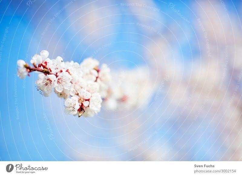 Weiße Apfelblüten vor blauem Himmel schön ruhig Garten Natur Pflanze Frühling Baum Blume Blüte Blühend frisch hell weich rosa weiß Romantik Apfelbaum blühen