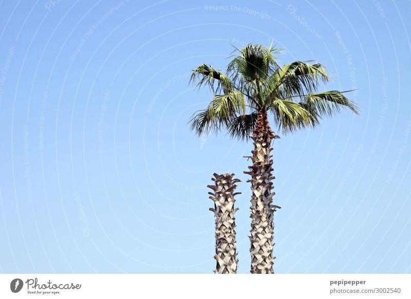 Kopflos Ferien & Urlaub & Reisen Ausflug Sommer Sommerurlaub Himmel Wolkenloser Himmel Pflanze Baum Blatt Palme Holz blau Farbfoto Außenaufnahme Tag