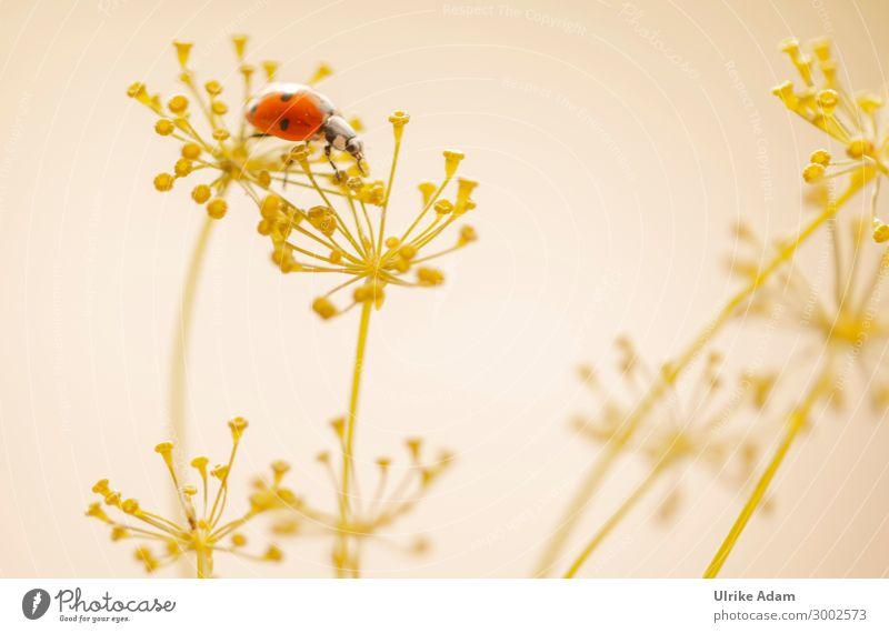 Marienkäfer auf Dillblüten Tapete Geburtstag Natur Pflanze Tier Sommer Blüte Garten Käfer Insekt 1 krabbeln natürlich gelb rot Glück Tierliebe Glücksbringer