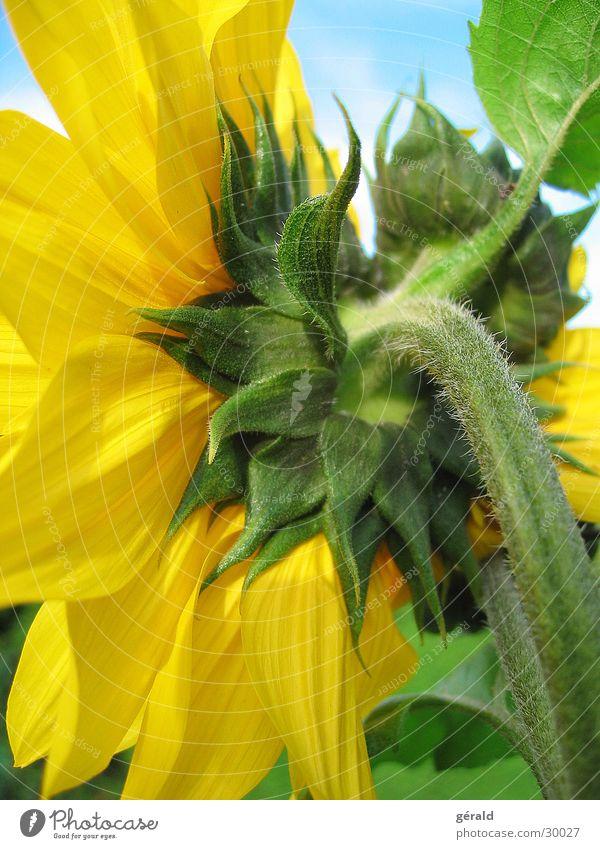 sonnenblume Sonne Blume grün Sommer gelb
