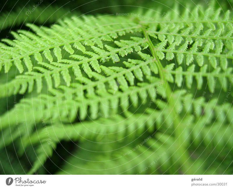 fougère grün Pflanze Echte Farne Nahaufnahme Garten Natur