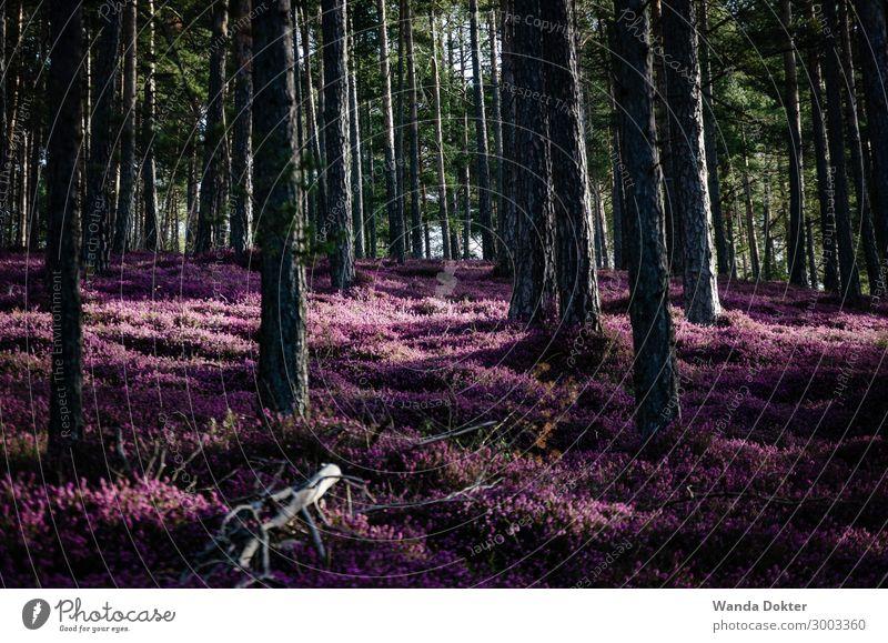 Heather Blossom Tourismus Ausflug Abenteuer wandern Natur Landschaft Pflanze Frühling Baum Blume Wald Blühend leuchten ästhetisch authentisch außergewöhnlich