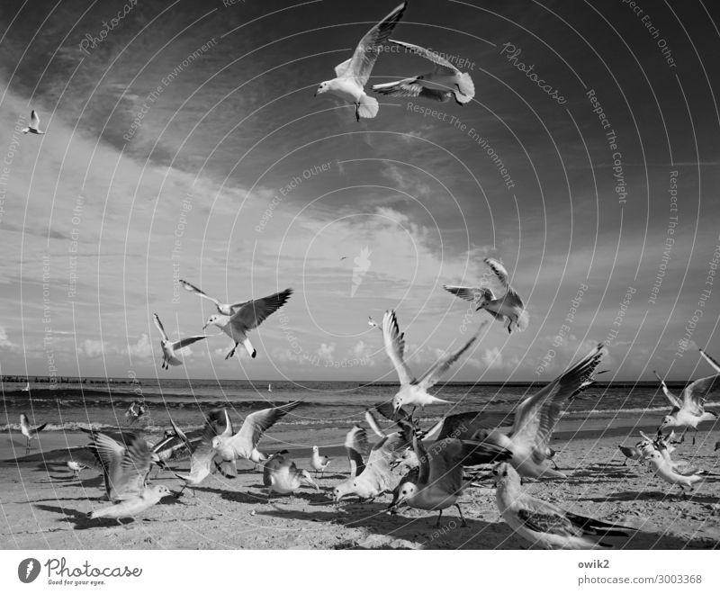 Kampftag Umwelt Natur Landschaft Tier Sand Wasser Himmel Wolken Schönes Wetter Küste Ostsee Vogel Möwe Schwarm fliegen Fressen füttern viele verrückt Horizont