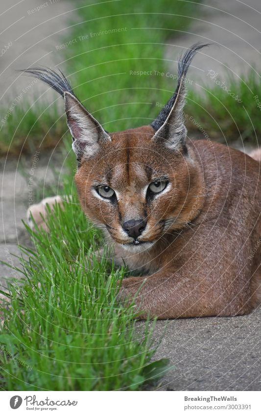 Nahaufnahme des Karakalporträts mit Blick auf die Kamera Natur Tier Wildtier Katze Tiergesicht Zoo 1 grün Gras Wachsamkeit Boden Erholung aussruhen liegen