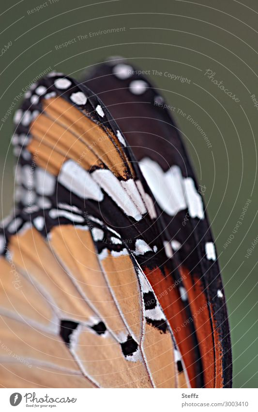 Der Monarch Umwelt Natur Sommer Schmetterling Flügel Edelfalter Wanderfalter Tagfalter ästhetisch elegant schön nah natürlich grün orange schwarz weiß achtsam