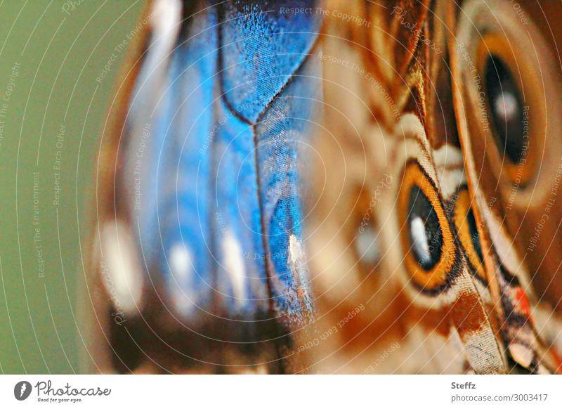 Hillmelsfalter Natur Sommer Schmetterling Flügel Edelfalter Augenfalter Himmelsfalter Morphofalter nah natürlich schön blau braun grün orange einzigartig