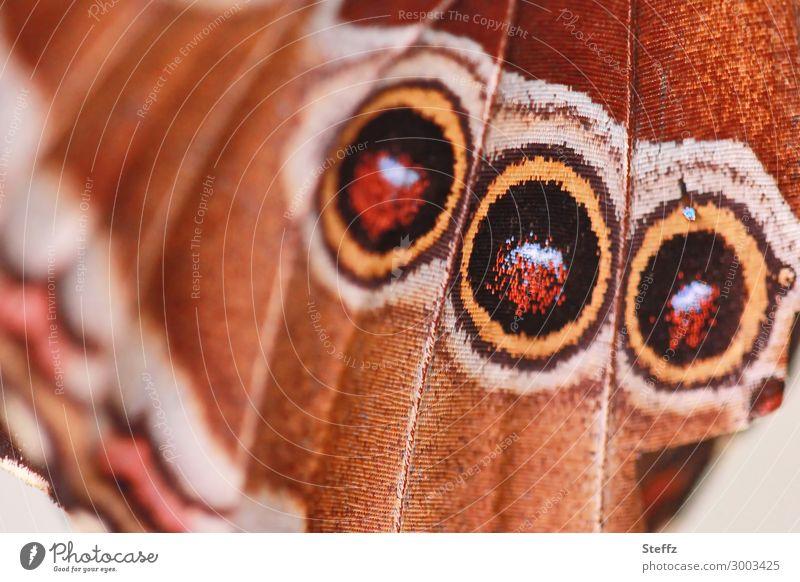 ein Flügel mit drei Scheinaugen zur Abschreckung Mimikry Flügelmuster Warnsignal Tarnung Tarnmuster Tarnfarbe Augenflecken nahahmen abschrecken vorgaukeln