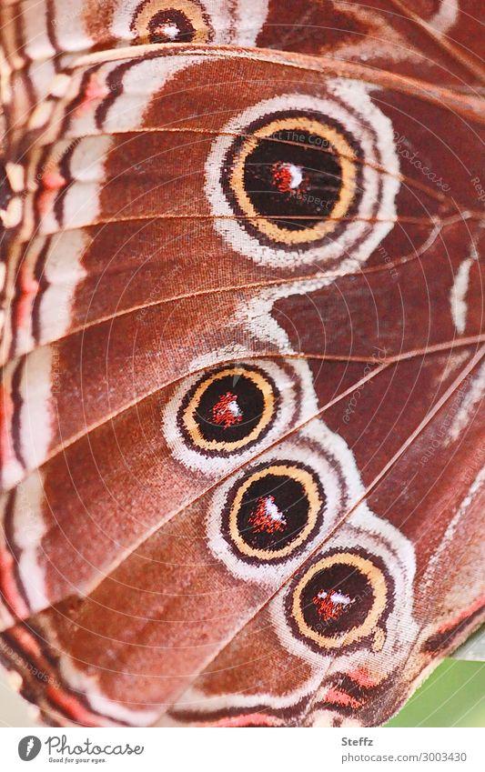 vier Augen Natur Sommer Schmetterling Flügel Edelfalter Augenfalter Morphofalter nah natürlich rund schön braun orange achtsam Design Inspiration Symmetrie