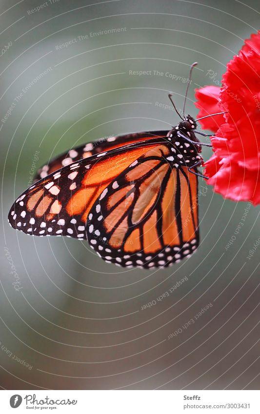natural beauty Natur Sommer Blume Gewürznelke Deutschland Schmetterling Flügel Monarch Edelfalter Fressen schön nah natürlich grau orange rot achtsam