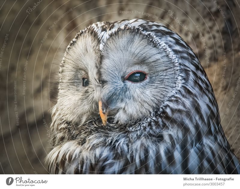 Kauz Porträt Natur Tier Sonnenlicht Schönes Wetter Wildtier Vogel Tiergesicht Eulenvögel Habichtskauz Auge Schnabel Feder gefiedert 1 beobachten glänzend Blick