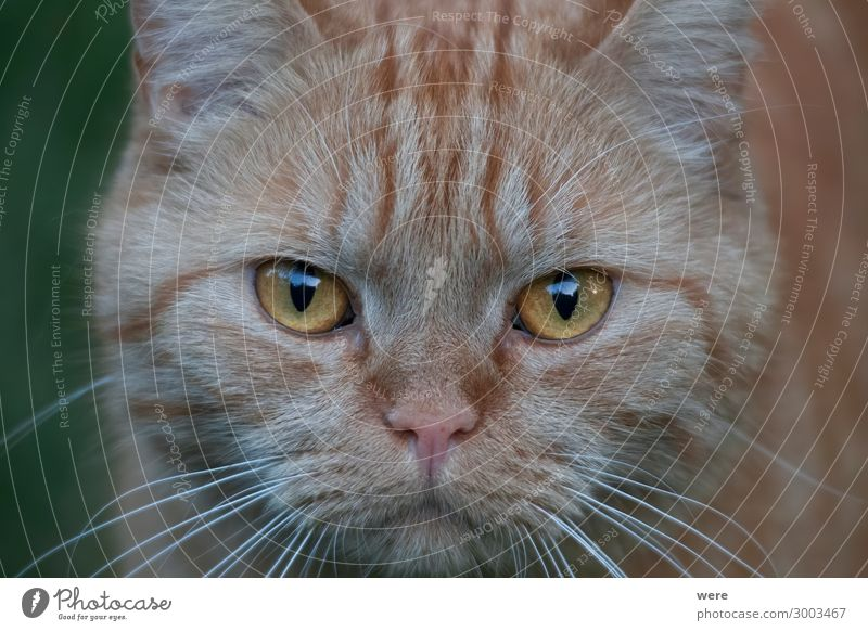 Portrait of a redhead british shorthair cat Tier Haustier Katze Tiergesicht 1 weich rot British shorthair cat Cat breed Claws Sleep animal cat head copy space