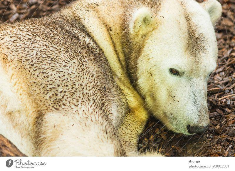 Porträt eines auf dem Boden liegenden Eisbären Erwachsener Tier Tiere Hintergrund Bär trägt schön Schönheit Fleischfresser fleischfressend Krallen Nahaufnahme