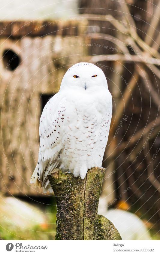 Schnee-Eule, die im Frühjahr auf einem Ast thront. schön Leben Jagd Ferien & Urlaub & Reisen Natur Landschaft Tier Park Wildtier Vogel 1 sitzen lustig natürlich