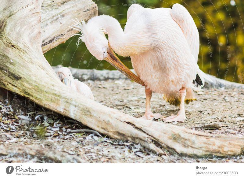 Das rosa Rückenpelikan oder Pelecanus rufescens Portrait exotisch schön Leben Ferien & Urlaub & Reisen Natur Tier Vogel 1 lustig natürlich niedlich wild weiß