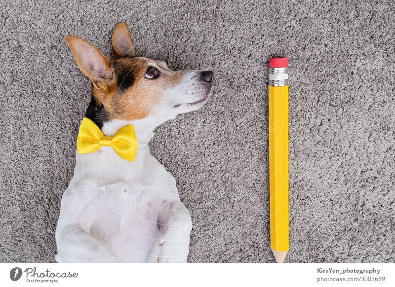 Porträt eines süßen jungen Jack-Russell-Terrier-Hundes mit großer gelber Feder und gelber gebundener Schleife. Zurück zum Schulkonzept Aprilscherz-Tag oben