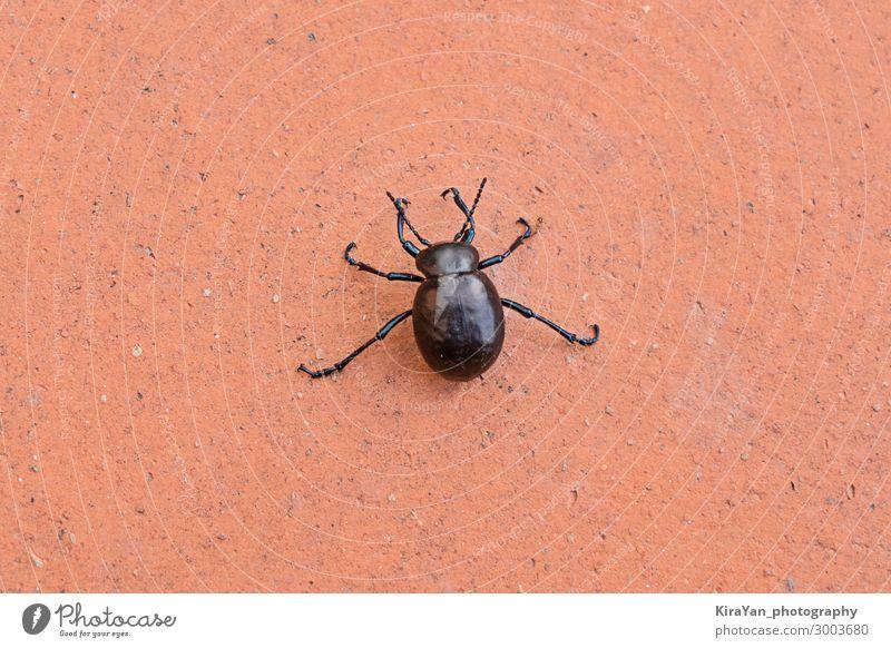 Großer schwarzer Käfer auf orangem Hintergrund Natur Tierwelt Nahaufnahme Wanze Gefahr Flügel Kreatur Insekt Ameise Karikatur Silhouette Schädling Rüsselkäfer