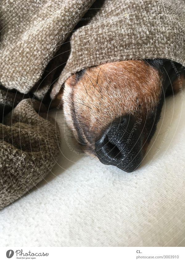 schnarchnase Häusliches Leben Bett Tier Haustier Hund Tiergesicht Dackel Decke lustig niedlich Sicherheit Schutz Geborgenheit Tierliebe ruhig Müdigkeit