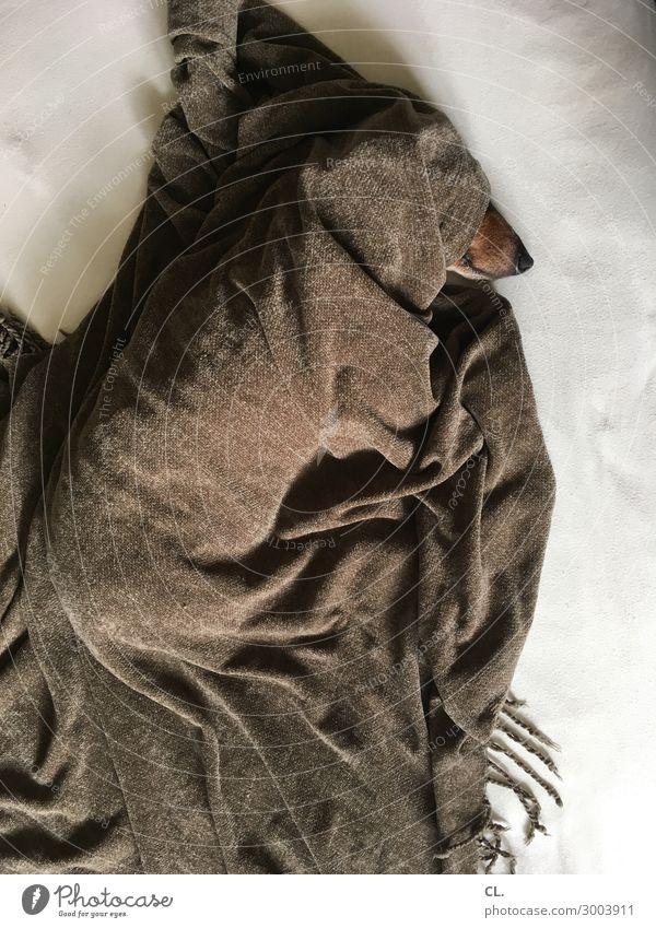 dackel unter decke Häusliches Leben Wohnung Bett Tier Haustier Hund Dackel 1 Decke schlafen lustig niedlich braun Sicherheit Schutz Geborgenheit Tierliebe ruhig