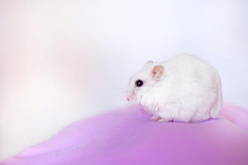 Porträt eines weißen Hamsters Tier Maus 1 beobachten Blick rosa ruhig Selbstbeherrschung Neugier Rodeur Maskottchen Kommender Comida alimentación Semillen ruso
