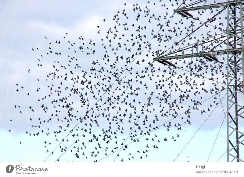 ein Schwarm von Staren fliegt zu einem Strommast Energiewirtschaft Kabel Umwelt Natur Tier Himmel Wolken Herbst Wildtier Vogel Bewegung fliegen stehen