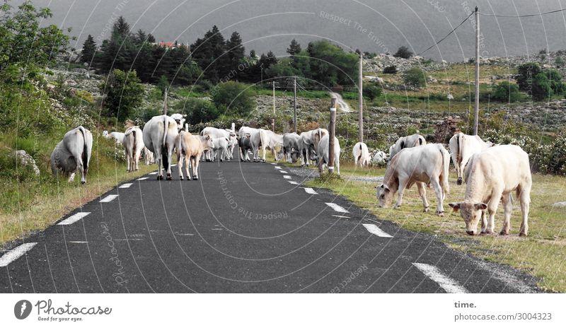 Straße durchs Wohnzimmer | on the road again Umwelt Natur Landschaft Verkehr Verkehrswege Personenverkehr Straßenverkehr Autofahren Tier Nutztier Kuh Tiergruppe