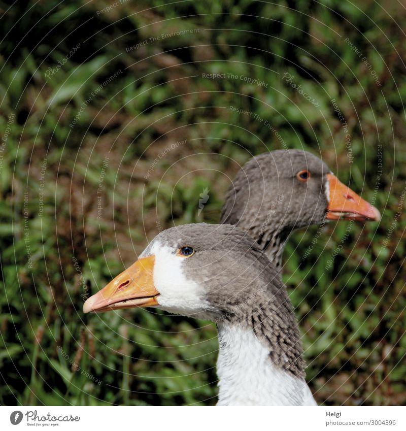 Nahaufnahme von zwei Gänsen, die hintereinander stehen und die Köpfe in entgegengesetzte Richtung halten Umwelt Natur Pflanze Tier Nutztier Vogel Tiergesicht
