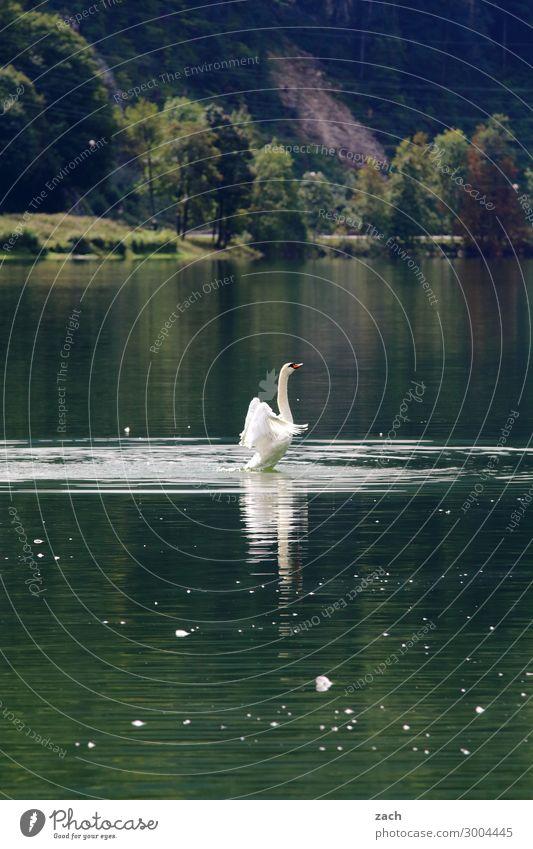 Aufstehen Natur Wasser Pflanze Baum Hügel Alpen Küste Seeufer Tier Vogel Schwan Flügel 1 Schwimmen & Baden grün Kraft schön Farbfoto Außenaufnahme Menschenleer