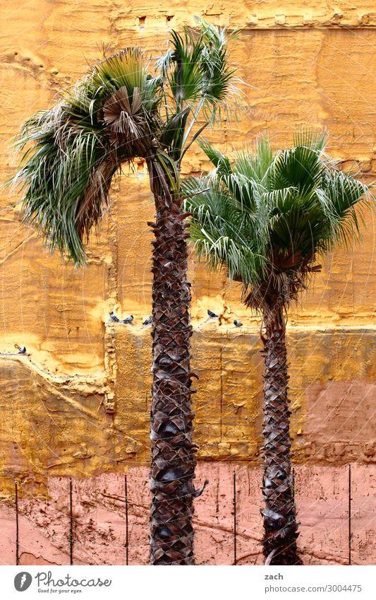 Urban Gardening Pflanze Stadt Baum Haus gelb Wand Mauer braun Fassade Wachstum kaputt Spanien Palme Ruine Barcelona Grünpflanze