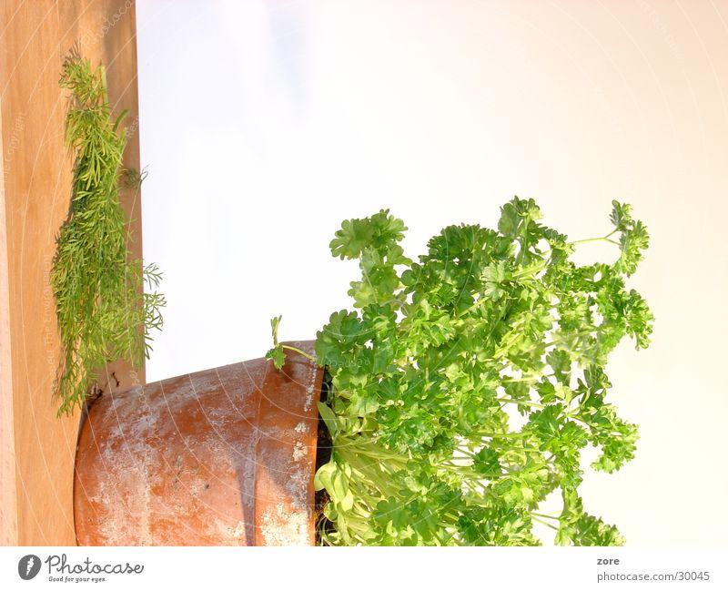 Küchenkräuter Ernährung frisch Freisteller Kräuter & Gewürze Blumentopf Petersilie Dill