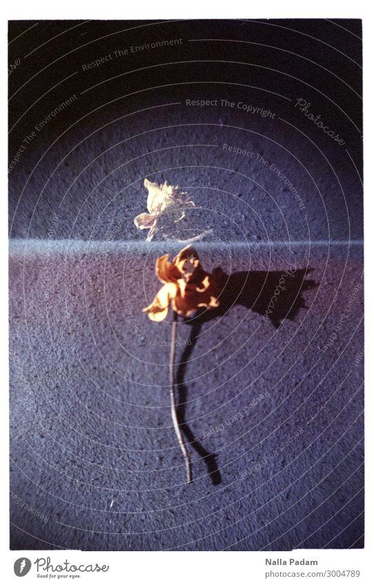 Wolle Olle Rose? - DREI Pflanze Blume gelb Vergänglichkeit vertrocknet Farbfoto Innenaufnahme Textfreiraum links Textfreiraum rechts Textfreiraum oben