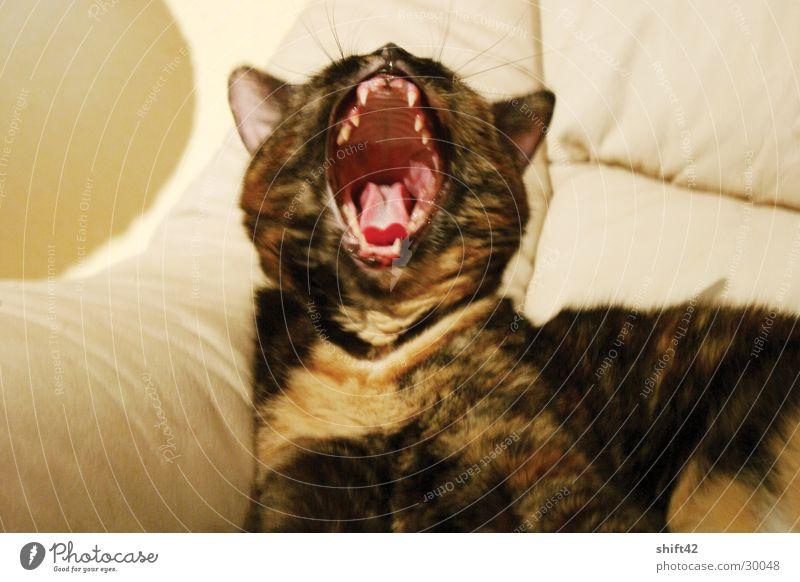 tiger Katze rot gähnen Fell limi Maul Gebiss Zunge