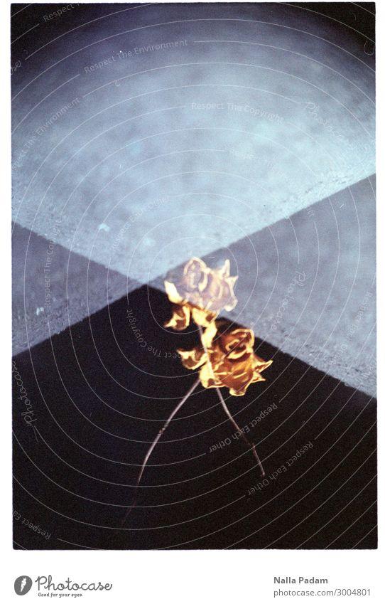 Wolle Olle Rose? - EINS Pflanze Blume gelb Vergänglichkeit vertrocknet Farbfoto Innenaufnahme Textfreiraum oben Tag
