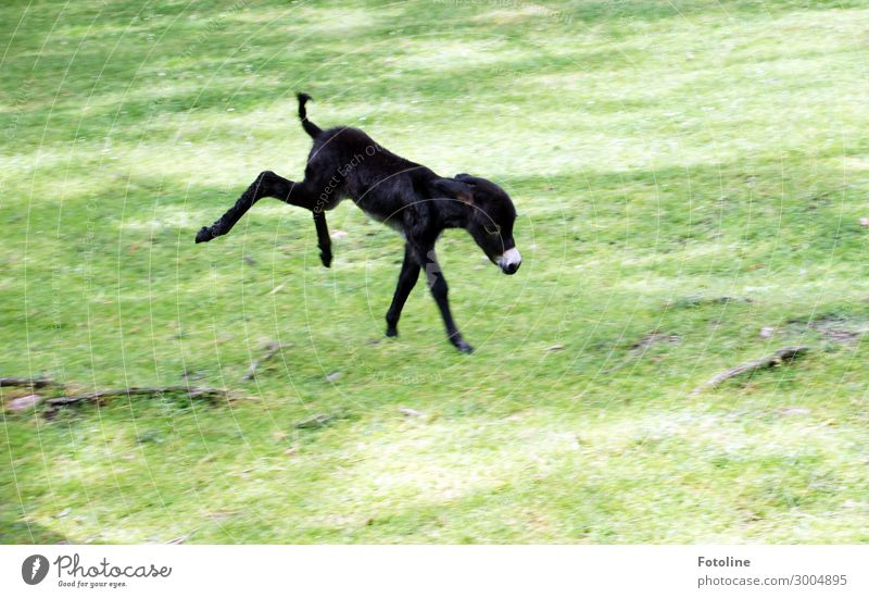 ausgelassen Umwelt Natur Pflanze Tier Urelemente Erde Sommer Gras Park Wiese Fell 1 Tierjunges frech klein natürlich niedlich verrückt wild weich grün schwarz