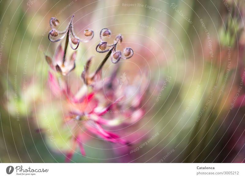 Wiesenkraut Natur Sommer Pflanze schön grün Blatt Umwelt Blüte Gras Garten braun rosa Stimmung Zufriedenheit Feld