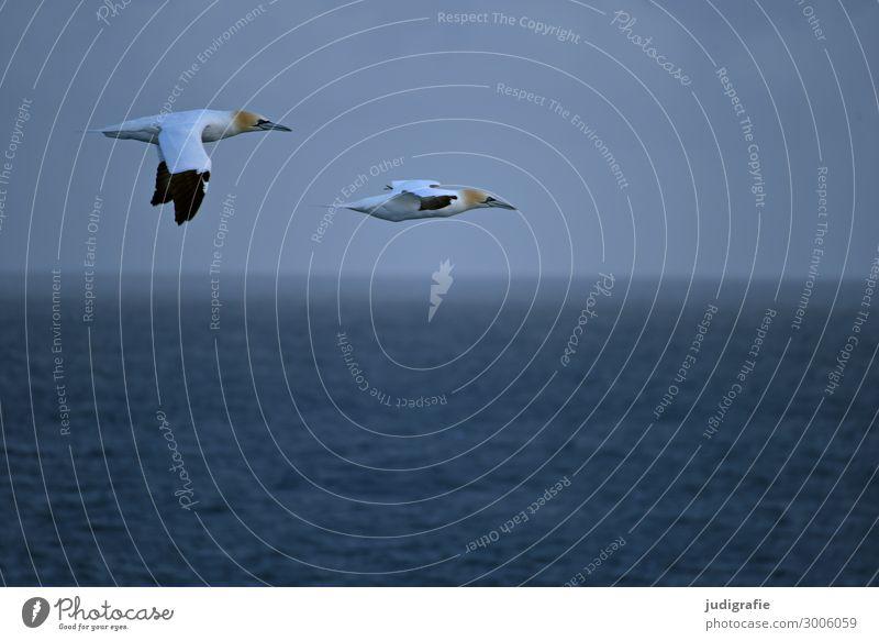 Unterwegs Ferien & Urlaub & Reisen Ausflug Freiheit Umwelt Natur Tier Luft Wasser Klima Meer Wildtier Vogel Basstölpel 2 fliegen natürlich blau Farbfoto