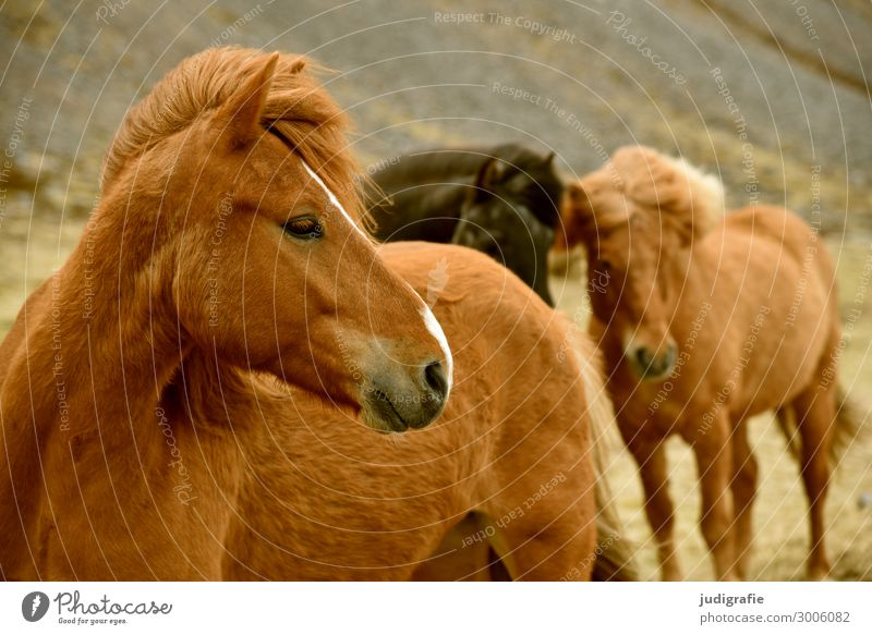 Island Ferien & Urlaub & Reisen Natur schön Tier natürlich Tourismus Haare & Frisuren braun Wildtier Tiergruppe Pferd nah brünett Tiergesicht Nutztier