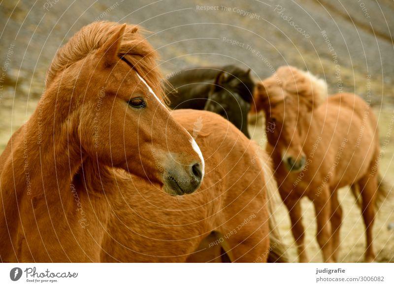 Island Ferien & Urlaub & Reisen Tourismus Natur Haare & Frisuren brünett Tier Nutztier Wildtier Pferd Tiergesicht Island Ponys 3 Tiergruppe nah natürlich schön