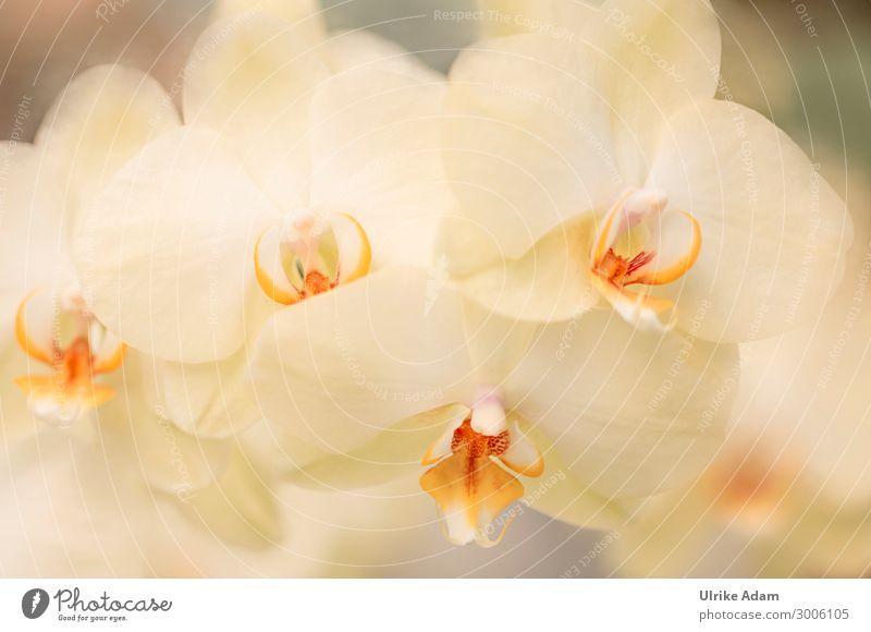 Blumen - Gelbe Orchideen exotisch schön Wellness harmonisch Erholung Meditation Spa Tapete Geburtstag Natur Pflanze Frühling Sommer Herbst Winter Blüte