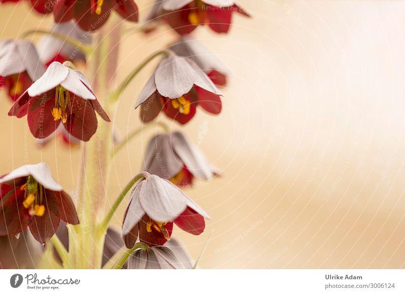 Persische Kaiserkrone ( Fritillaria persica ) Schwache Tiefenschärfe Sonnenlicht Menschenleer Makroaufnahme Detailaufnahme Nahaufnahme Außenaufnahme Farbfoto