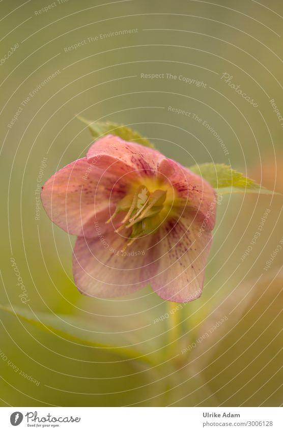 Christrose / Lenzrose ( Helleborus niger ) Natur Weihnachten & Advent Pflanze grün Blume Erholung ruhig Winter Blüte Frühling Garten orange Zufriedenheit
