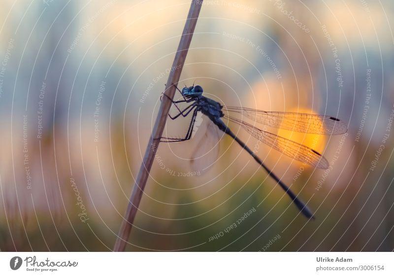 Libelle im Abendlicht Design Natur Tier Sommer Feld Flussufer Moor Sumpf Libellenflügel Insekt 1 hocken warten ästhetisch natürlich niedlich wild weich blau