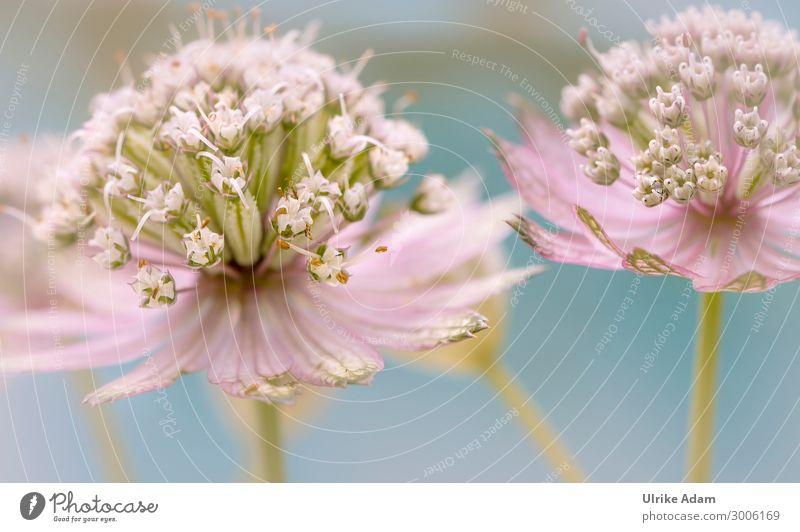 Sterndolde (Astrantia) elegant Design Wellness Leben harmonisch Wohlgefühl Zufriedenheit Erholung ruhig Meditation Spa Tapete Hochzeit Natur Pflanze Sommer