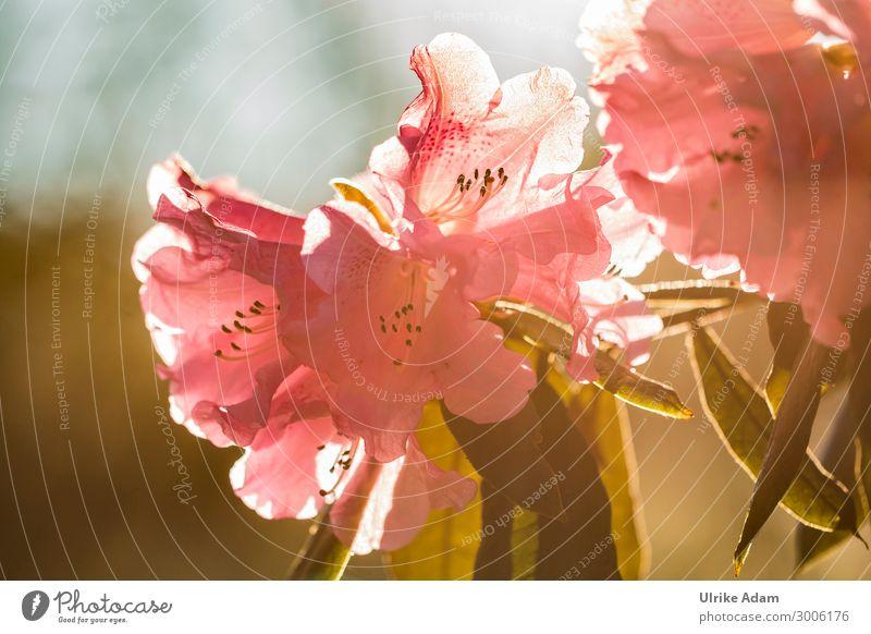 Rhododendron im Abendlicht Natur Pflanze schön Blume Erholung ruhig Leben Blüte Frühling orange rosa Zufriedenheit leuchten elegant Geburtstag Blühend