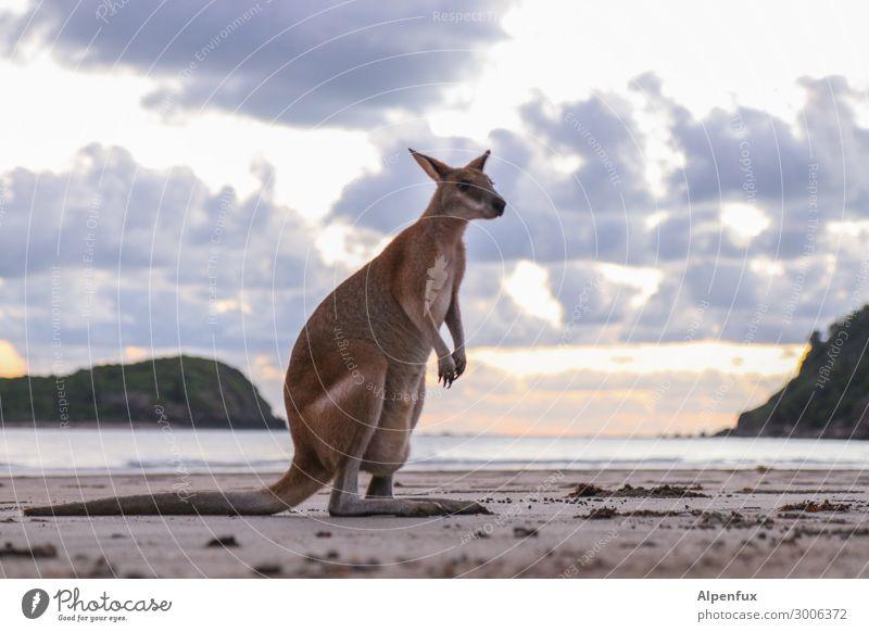 Wanna be a Wallaby Australien Tier Wildtier Känguruh sitzen exotisch Akzeptanz Vertrauen Geborgenheit Sympathie Freundschaft Tierliebe Abenteuer Angst