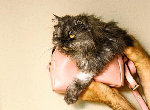 Perserkatze in kleinem rosa Beutel II Lifestyle Haus Mensch Frau Erwachsene Mann Familie & Verwandtschaft Freundschaft Tier Katze Liebe Coolness niedlich grau