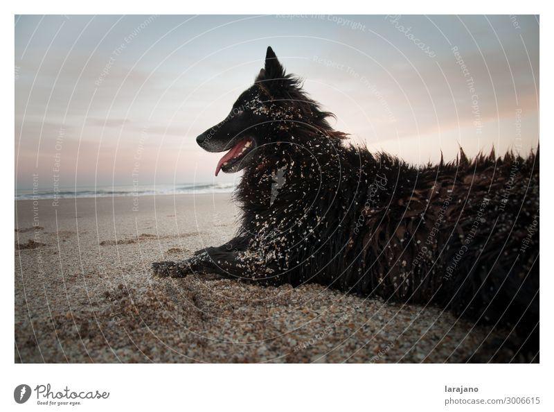 Strandhund Ferien & Urlaub & Reisen Sommer Sommerurlaub Sonne Meer Umwelt Natur Landschaft Tier Sand Luft Wasser Himmel Wolken Horizont Sonnenaufgang