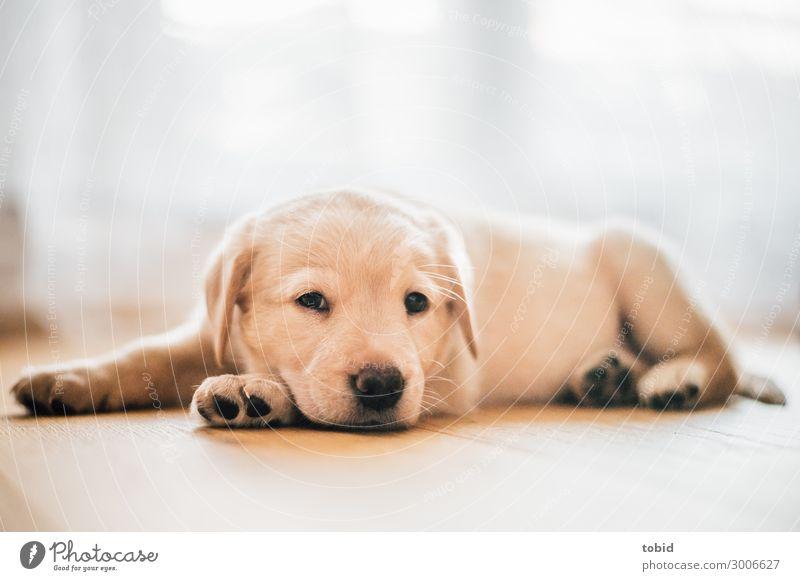 Hundewelpe / Labrador Retriever Tier Haustier Tiergesicht Fell 1 beobachten Erholung genießen liegen Freundlichkeit kuschlig Sympathie Tierjunges Welpe