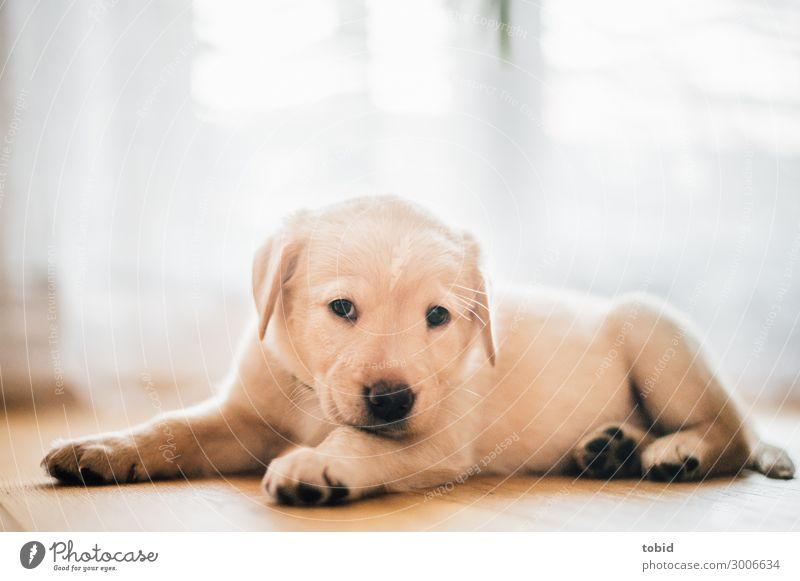 Hundewelpe / Labrador Retriever Tier Haustier 1 beobachten liegen kuschlig Geborgenheit Tierliebe Wohlgefühl Welpe Fell Farbfoto Innenaufnahme Nahaufnahme